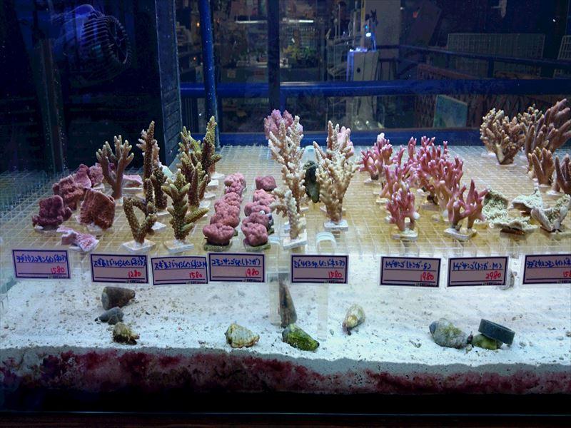 フラグサンゴ